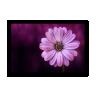 quadro gerbera rosa 60 x 40 qua0059 2
